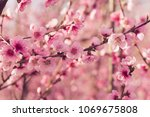 spring tree with pink flowers | Shutterstock . vector #1069675808