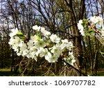 white flowers in bloom | Shutterstock . vector #1069707782