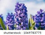 typical dutch spring flower...   Shutterstock . vector #1069783775