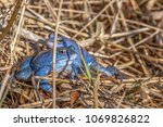 male moor frogs turn into a... | Shutterstock . vector #1069826822