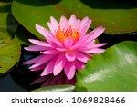 closeup pink lotus flower or...   Shutterstock . vector #1069828466