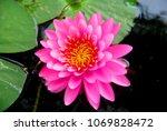 closeup pink lotus flower or...   Shutterstock . vector #1069828472