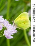 Small photo of yellow Brimstone butterfly