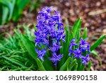 spring purple hyacinths   Shutterstock . vector #1069890158