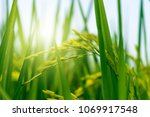 ear of rice on agriculture...   Shutterstock . vector #1069917548