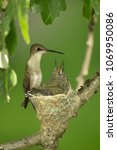Small photo of Ruby throated hummingbird Minnesota Agnieszka Bacal.