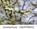 Small photo of Cherry plum tree. Cherry plum blossoms white florets with gentle petals. Stamens of yellow color.