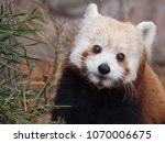 Red Panda Portrait A Red - Fine Art prints