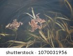 frogs in water during mating... | Shutterstock . vector #1070031956