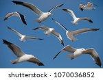 several adult california gulls  ... | Shutterstock . vector #1070036852