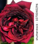 Small photo of Gorgeous rosebud in nature colors