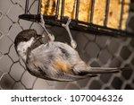 Chestnut Chickadee Hanging...