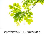 beautiful green leave on white... | Shutterstock . vector #1070058356