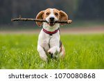 dog beagle with a stick on a... | Shutterstock . vector #1070080868