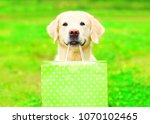 Stock photo pretty golden retriever dog is holding a green shopping bag in the teeth on a grass on a summer 1070102465