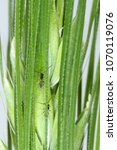 Small photo of Parasitoids (Hymenoptera: Braconidae) of cereal aphids.