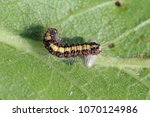 Small photo of Pupa of Parasitoids (Hymenoptera: Braconidae) under leaved host - caterpillar.