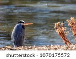 a great blue heron  ardea... | Shutterstock . vector #1070175572