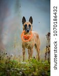 Small photo of Belgian shepherd malinois in the fog