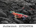 christmas iguana on espanola... | Shutterstock . vector #1070249936