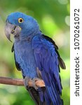the hyacinth macaw  | Shutterstock . vector #1070261072