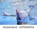 pink dolphin showing on the... | Shutterstock . vector #1070269016