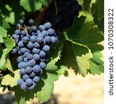 merlot red wine grapes french... | Shutterstock . vector #1070308322