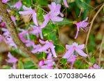 "light pink ""yamato tsuji"" which ... | Shutterstock . vector #1070380466"