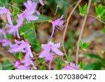 "light pink ""yamato tsuji"" which ... | Shutterstock . vector #1070380472"