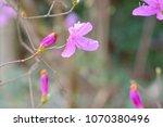 "light pink ""yamato tsuji"" which ... | Shutterstock . vector #1070380496"
