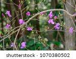 "light pink ""yamato tsuji"" which ... | Shutterstock . vector #1070380502"