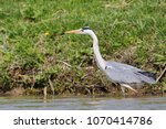 grey heron  ardea cinerea ... | Shutterstock . vector #1070414786