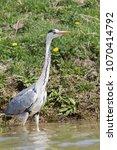 grey heron  ardea cinerea  in... | Shutterstock . vector #1070414792
