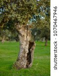 Small photo of old Holm oak in the field