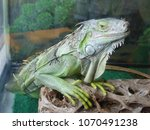 sad green iguana in the close ... | Shutterstock . vector #1070491238