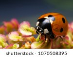macro  closeup insect  ladybug | Shutterstock . vector #1070508395