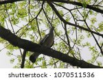 Dove Sitting On A Tree Branch