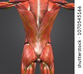 human muscular anatomy with...   Shutterstock . vector #1070545166