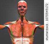 human muscular anatomy with...   Shutterstock . vector #1070545172