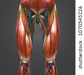 lower limbs muscle anatomy with ... | Shutterstock . vector #1070545226