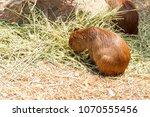 capybara  hydrochaeris...   Shutterstock . vector #1070555456