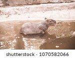 capybara in thai  thailand.   Shutterstock . vector #1070582066
