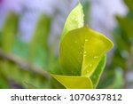 beautiful green leaf leaves the ...   Shutterstock . vector #1070637812