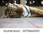 Sleeping Tiger On The Floor