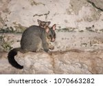 Mother And Baby Possum Eating...