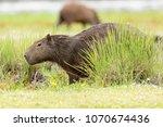 capybara  hydrochaeris...   Shutterstock . vector #1070674436