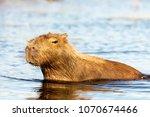 capybara  hydrochaeris...   Shutterstock . vector #1070674466