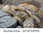 Stock photo close up african spurred tortoise resting in the garden slow life tortoise sunbathe on ground 1070724992
