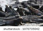 galapagos marine iguana  ... | Shutterstock . vector #1070735042