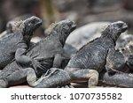 galapagos marine iguana  ... | Shutterstock . vector #1070735582